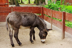 Donkey in zoo. In Europe Royalty Free Stock Image