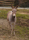 Donkey in ZOO. Donkey somali in ZOO Usti nad Labem stock photography