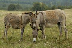 Donkeys. Showing affection royalty free stock image
