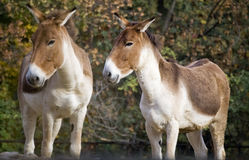 Donkeys Stock Photography