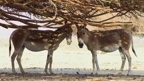 Donkeys. This shot was made in the national nature reservation park Hai Bar in Israel Stock Images