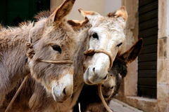 Donkeys. Two donkeys while eating in a farm Royalty Free Stock Photography