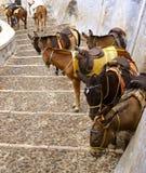 Donkeys. A donkeys on the Greek Island of Santorini Royalty Free Stock Images