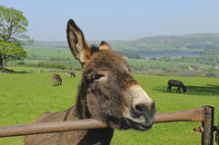 Donkeys Royalty Free Stock Photos