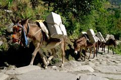 Donkeys. Carrying supplies to nearby village in Himalaya mountains, Nepal Stock Image