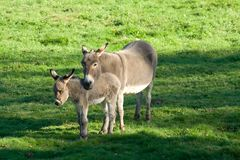 Donkeys. Two donkeys in the meadow with sun Royalty Free Stock Photos
