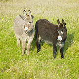 Donkeys. In County Donegal, Ireland Stock Photography