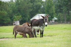 Donkeys. Three Mules grazing in a grassy field Stock Photos