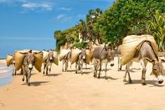Donkeys. Group of donkeys carrying load  on coast of Lamu island,Kenya Stock Image