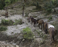 Donkeys. Along the Annapurna Base Camp Trail stock images