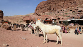 Donkeys amongst the sandstone desert landscape of Petra, Jordan Royalty Free Stock Photography