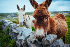 Donkeys in Aran Islands, Ireland. A shot of two donkeys in Aran Islands, Ireland Royalty Free Stock Image