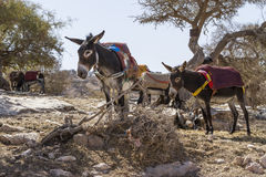 Donkeys. Ass in market in a traditional small village of Morocco Royalty Free Stock Photos
