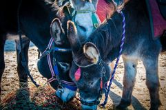 Donkeys on the beach Royalty Free Stock Image