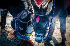 Donkeys on the beach Royalty Free Stock Photo