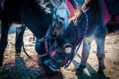 Donkeys on the beach Stock Photography