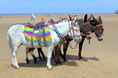 Donkeys at a beach resort. Four saddled donkeys at a beach resort in UK Stock Image