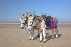 Donkeys at a beach resort. Two saddled donkeys on a beach in Blackpool Stock Image