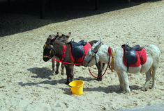 Donkeys on a beach. Stock Image