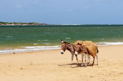 Donkeys on the beach in the vicinity of the Malindi resort in Kenya. Donkey being used for a transportation of sand on the Lamu archipelago standing on the beach Stock Photos