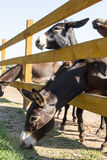 Donkeys behind wooden fence at farm Royalty Free Stock Photos