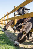 Donkeys behind wooden fence at farm Royalty Free Stock Photo