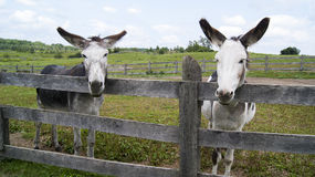 Donkeys and Big Ears. Taken at the Donkey Sanctuary of Canada in Guelph Ontario Canada Stock Photo