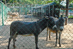 Donkeys in Bueng Chawak Chalermphrakiat Suphan Buri. Donkeys in Bueng Chawak Chalermphrakiat Stock Image