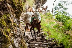Donkeys carry goods along extremally dangerous paths in highland. S of Nepal Royalty Free Stock Photos