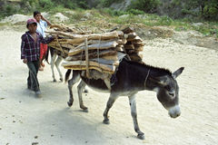 Donkeys carrying firewood on dirt road, Nicaragua Royalty Free Stock Images
