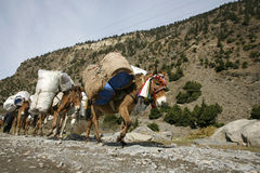 Donkeys carrying heavy loads, annapurna Stock Images