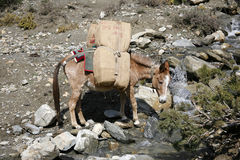 Donkeys Carrying Heavy Loads, Annapurna Stock Photo