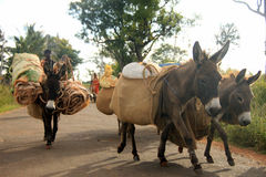 Donkeys carrying luggage. Caravan of donkeys carrying luggage, goat and other household items Royalty Free Stock Image
