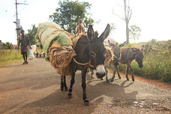 Donkeys carrying luggage. Caravan of donkeys carrying luggage, goat and other household items Royalty Free Stock Photo