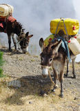 Donkeys carrying water in Cape Verde stock image