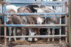 Donkeys in a cattle pen trailer Royalty Free Stock Photo