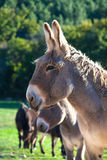 Donkeys Royalty Free Stock Images