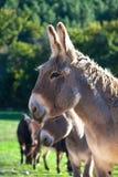 Donkeys Royalty Free Stock Images