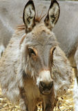 Donkeys Royalty Free Stock Photo