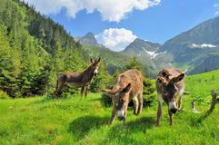Donkeys close up portrait on the high mountains Royalty Free Stock Image