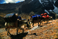 Donkeys in Cordiliera Huayhuash Stock Images