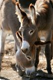 Donkeys couple portrait. In the zoo Royalty Free Stock Photo