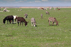 Donkeys and cows Stock Images