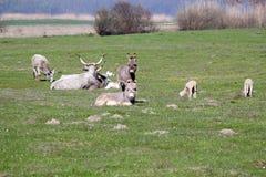 Donkeys cows and sheep Royalty Free Stock Image