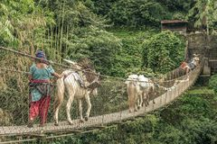 Donkeys cross the rope bridge in Anapurna Stock Photography