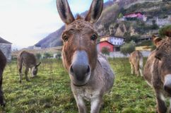 Donkeys. Curious donkeys which i met on my walk. They were very curious esp. of my pockets. Unfortunately I had nothing to give them Stock Photography