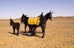 Donkeys in the desert Royalty Free Stock Photo