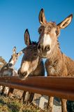 Donkeys. Grazing in freedom m Royalty Free Stock Photography