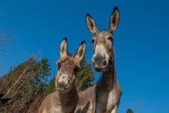 Donkeys. Grazing in freedom pastur Royalty Free Stock Photos