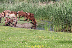 Donkeys drinking water Stock Photography